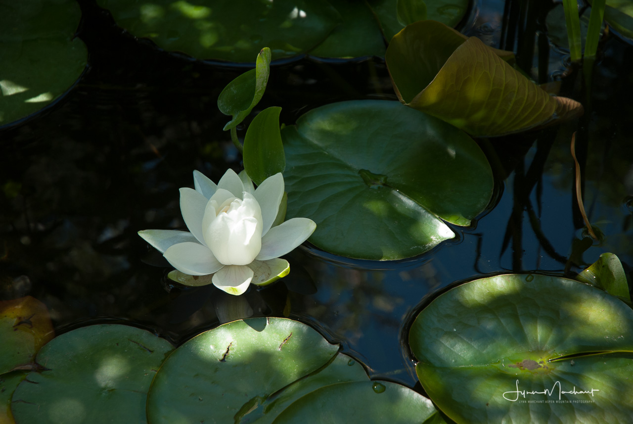 Water lily in my back yard